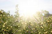 Apple Garden Full Of Riped Green Fruits poster