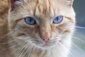 Brown Cat Looking Straight To Camera, ,domestic Cat, Relaxing Cat, Emotional Eyed Cats,cat Eyes poster