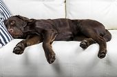 Brown Chocolate Labrador Retriever Dog Is Sleeping On Sofa With Pillow. Sleeping On The Couch. Young poster