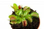 pic of flytrap  - Venus flytrap plant  - JPG