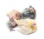 stock photo of cockatiel  - Four cockatiels parakeet babies. Isolated on white