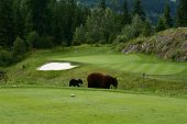 foto of encounter  - A bear and cub encounter golfers between the green and tee - JPG