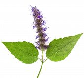 image of nana  - Isolated macro of fresh peppermint leaf and flowers - JPG