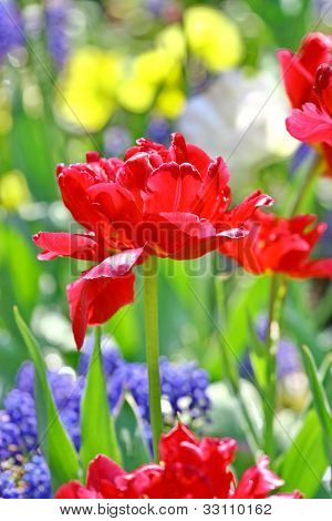 Red Beautiful Tulips