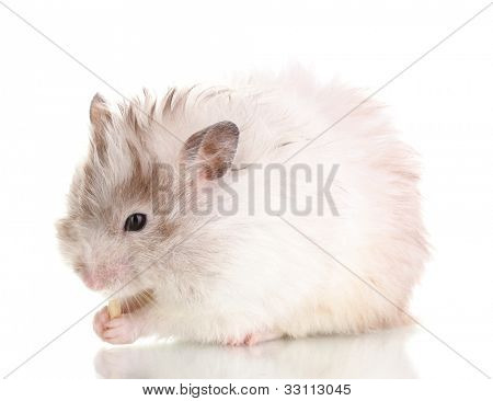 Cute hamster eating cheese isolated white