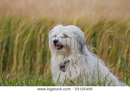 Dog in front of a cornfield