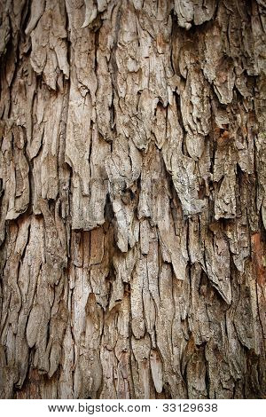Bark Of Rain Tree - Highly Detailed Photograph