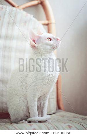 Cornish Rex Kitten Looking At The Window