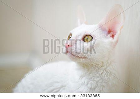 Cornish Rex Kitten Looking Left