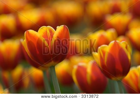 Pretty Orange Tulips