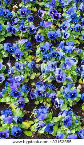 viola tricolor pansy, flowerbed