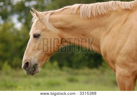 Old Palomino Stallion