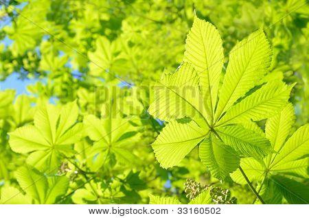 Chestnut (castanea) Tree Leaves