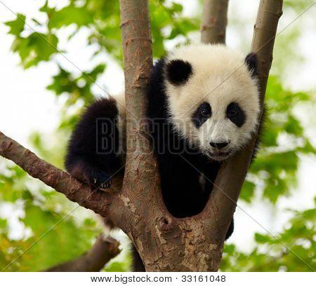 Giant panda baby over the tree