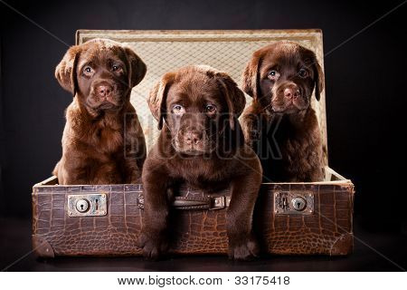 Three Puppies Of Labrador Retriever In Vintage Suitcase