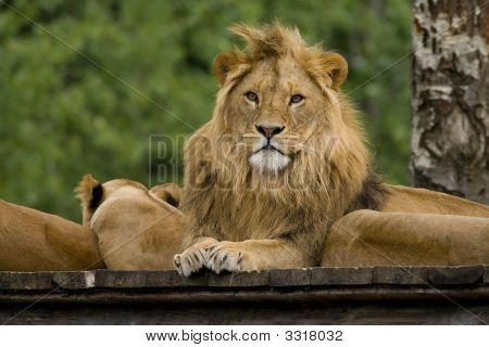Lion ( King )
