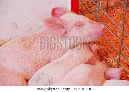 Cerdos del bebé