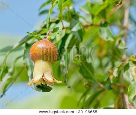 Closeup Of  Pomegranate Fruit Detail