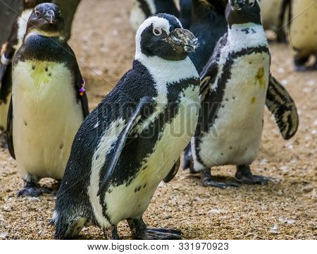 poster of Closeup Portrait Of A Black Footed Penguin Walking In Its Colony, Flightless Bird From Africa, Endan