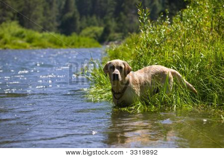 Labrador Retriever Hunting In A River