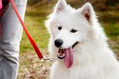 Samoyed Dog Portrait In Autumn Park. Canine Background. Walk Dog Concept poster