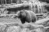 Animal Rights. Cute Big Bear Stony Landscape Nature Background. Zoo Concept. Animal Wild Life. Adult poster