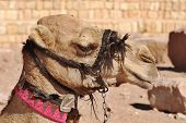 foto of hump  - Camel is an ungulate within the genus Camelus - JPG