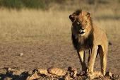 Lion Male (panthera Leo) Walking In Kalahari Desert And Looking For The Rest Of His Pride In Morning poster