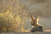 Cape Fox (vulpes Chama) Laying On The Sand In Kalahari Desert. Cape Fox In Evening Sun With Dry Yell poster