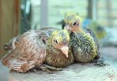 stock photo of pigeon loft  - Pigeon nestling little sitting together babies bird - JPG