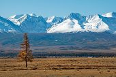 Lonely Larch Trees On The Background Of Snow-capped Mountains. Russia. Mountain Altai. Desert Steppe poster