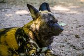 African Wild Dog With Its Face In Closeup, Endangered Animal Specie From Africa poster