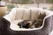 Cute Tabby Cat On Pet Bed At Home poster