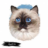 Ragdoll Cat Cat Breed With Color Point Coat And Blue Eyes. Digital Art Illustration Of Pussy Kitten  poster