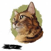 Toyger Breed Of Domestic Cat Isolated On White. Digital Art Illustration Of Pussy Kitten Portrait, F poster