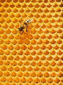 One bee on honeycomb. Loneliness worker