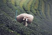 Farmers Are Carrying Large Tea Bags From The Tea Plantations After Harvest. poster