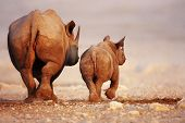 foto of calf cow  - Black Rhinoceros cow and calf walking away in Etosha desert - JPG