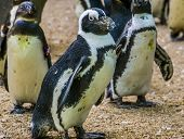 Closeup Portrait Of A Black Footed Penguin Walking In Its Colony, Flightless Bird From Africa, Endan poster