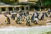 Island Full Of African Penguins, Black Footed Penguin Family, Zoo Animals, Endangered Animal Specie poster