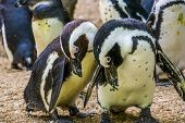 Closeup Of A Funny Black Footed Penguin Couple, Flightless Birds From Africa, Endangered Animal Spec poster