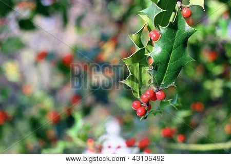 Ilex Aquifolium Red Berries
