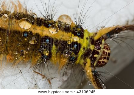 Hair Caterpillar