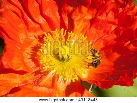 Orange Poppy, Yellow Stamen, Busy Bee