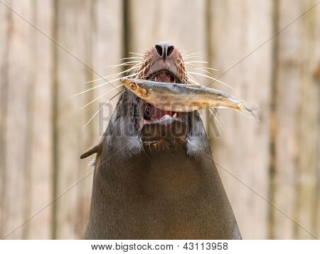 South American Sea Lion (otaria Flavescens)