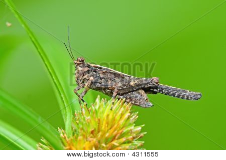 Brown Grasshopper And Grass In The Parks