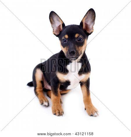 Young black coat puppy dog isolated on white background