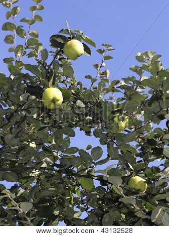 Ripe Quinces On The Tree