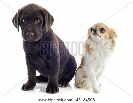 Labrador Retriever And Chihuahua