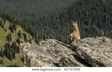 American Squirrel in Mt Rainier National Park